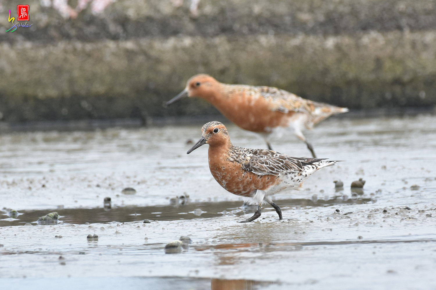 Red_Knot_0167