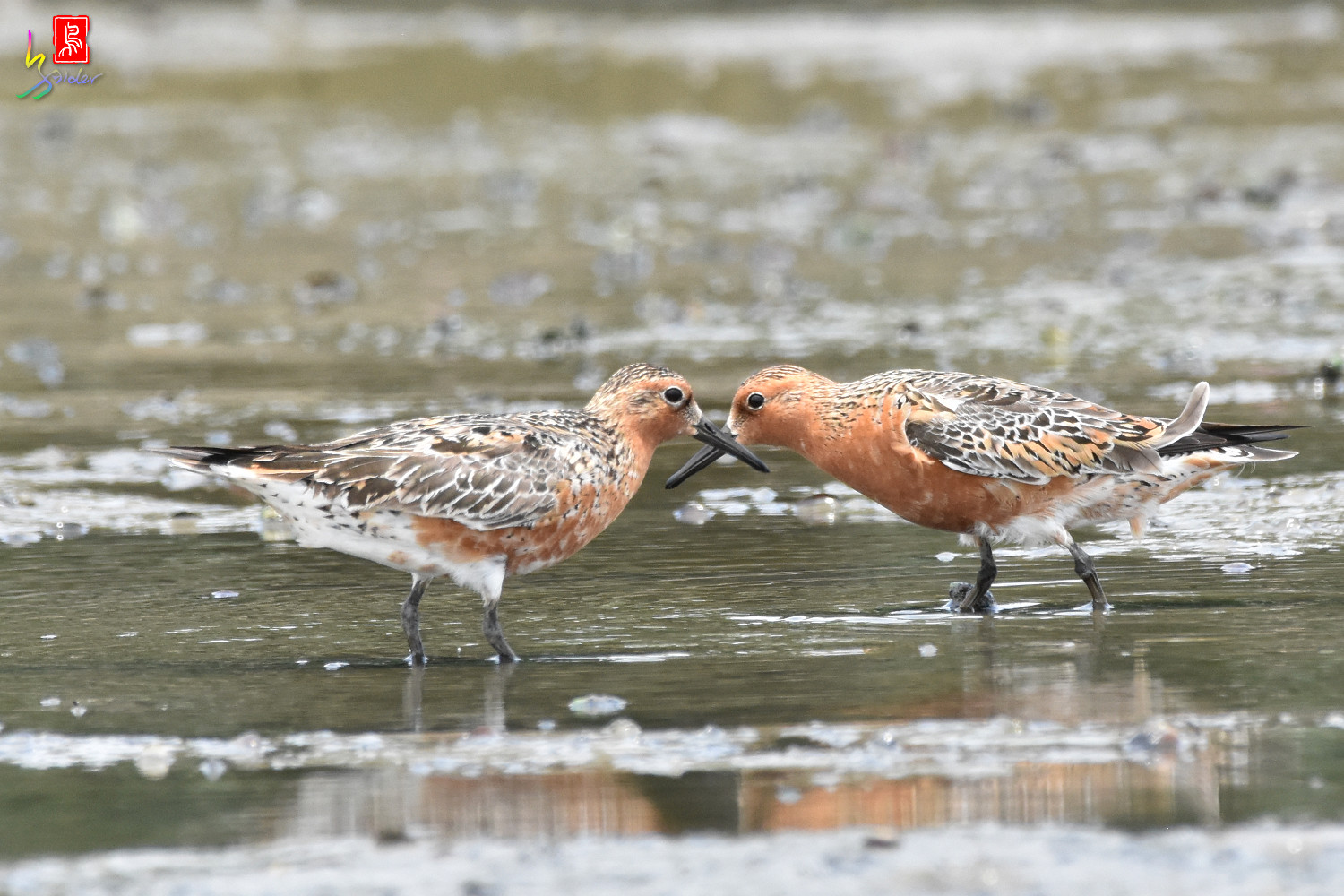Red_Knot_1534