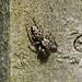 Fencepost Jumping Spider --- Marpissa muscosa