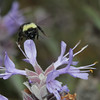 Bombus.californicus_6449sq by JKehoe_Photos