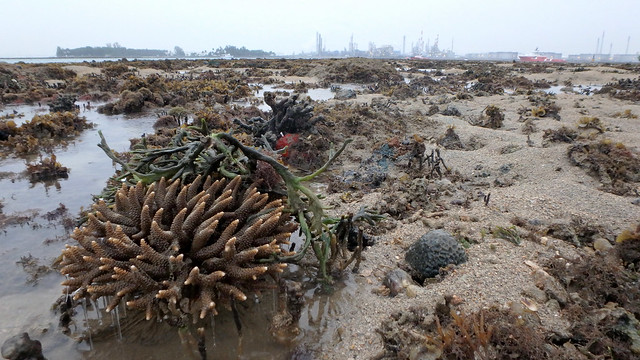 Pinecone acropora coral (Acropora sp.)