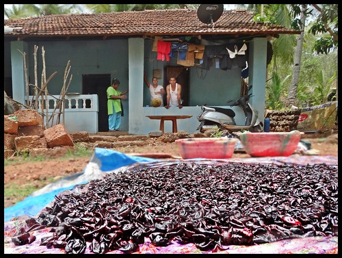 Goa  :  Kokum drying in front of village house