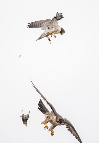 peregrine and stariing 5