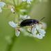 False Flower Beetle - Anaspis frontalis