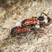 Ant Beetles - Thanasimus formicarius
