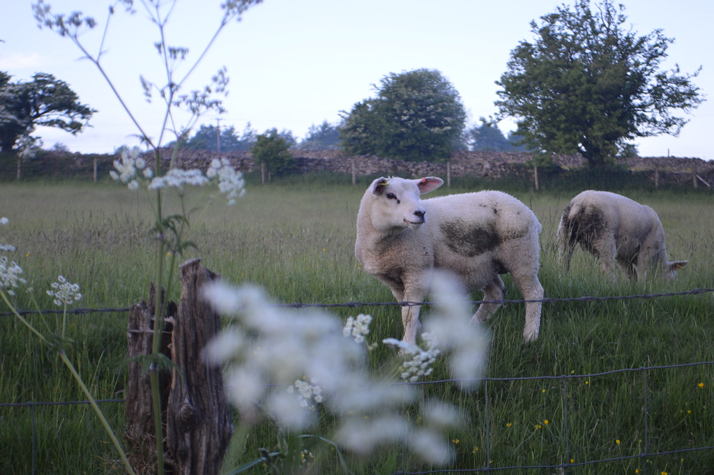 This is a picture of a sheep in a field