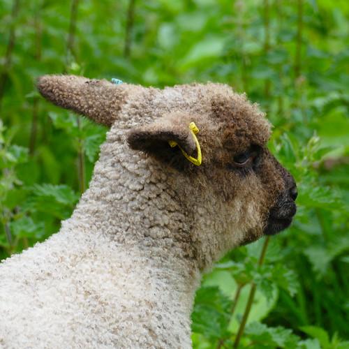 Growing lamb, Northycote