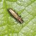 Jewel Beetle - Agrilus laticornis