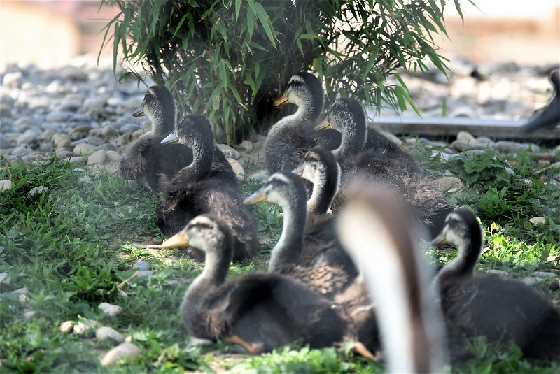 Ducks 27.05 (3)
