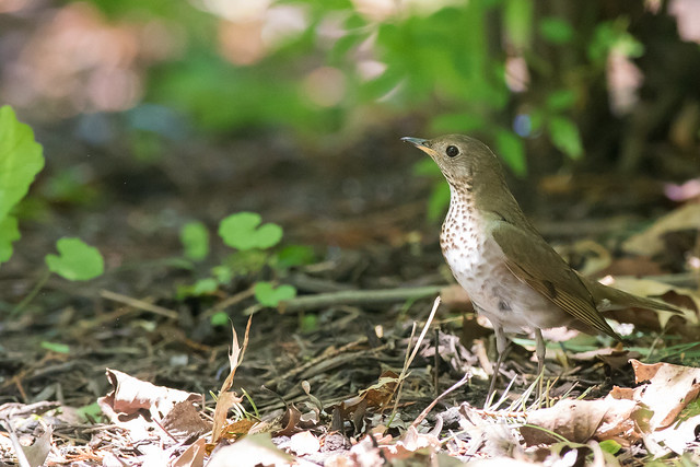 Bicknell's Thrush, Canon EOS 7D MARK II, Canon EF 600mm f/4L IS