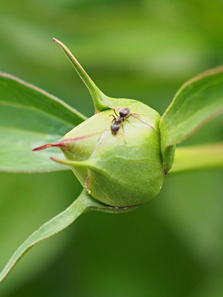 muurahaiset pionissa
