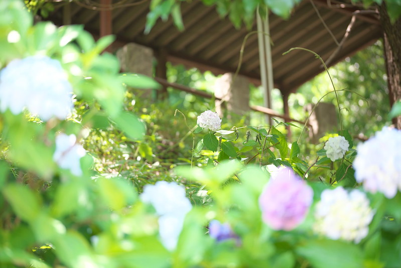 西日暮里 諏方神社の紫陽花