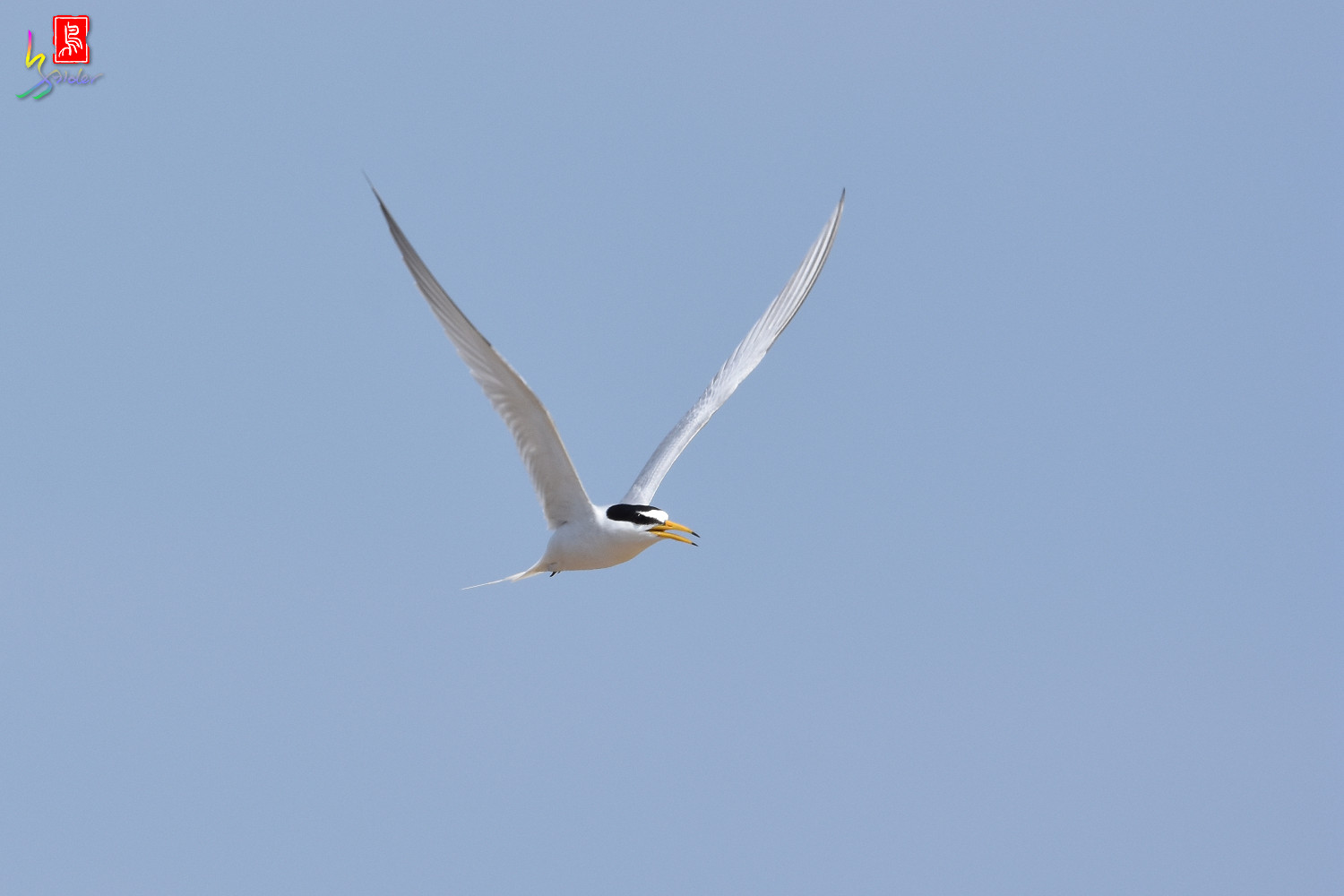 Little_Tern_0038