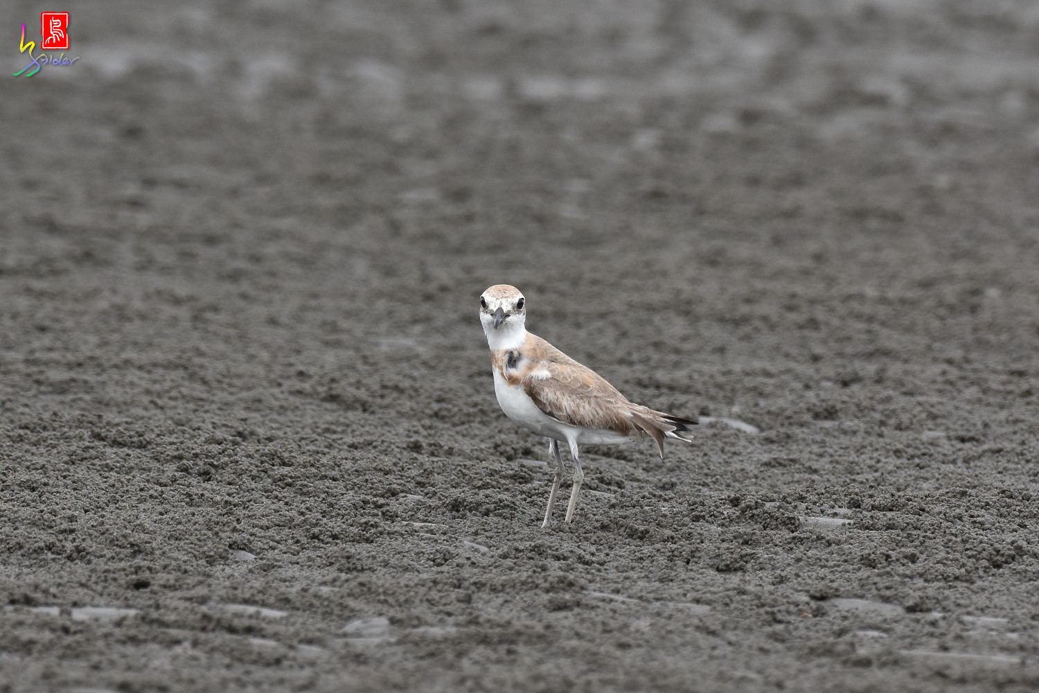 Greater_Sand_Plover_9399