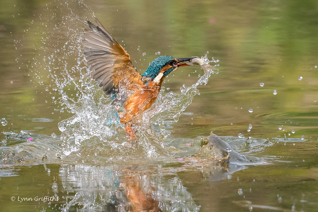 Kingfisher (Alcedo atthis) - Success 500_2119-2.jpg