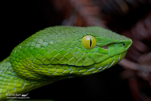 Trimeresurus fucatus_MG_0926 copy