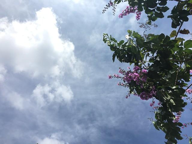 蔚藍晴空與大花紫薇