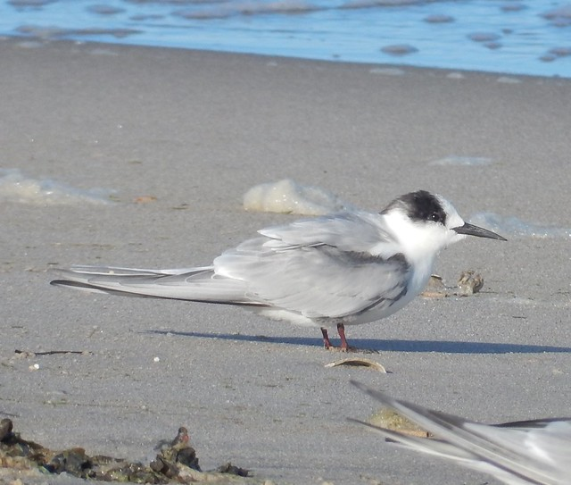Arctic Tern Breezy Point