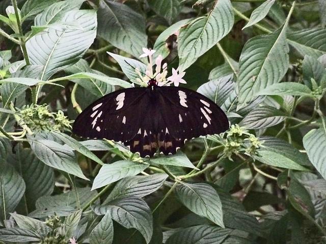 Orchid butterfly, Kuranda Butterfly, Sony DSC-HX60V, Sony 24-720mm F3.5-6.3