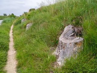Baumstümpfe gefällter Platanen am Canal du Midi