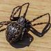 Walnut Orbweb Spider - Nuctenea umbratica