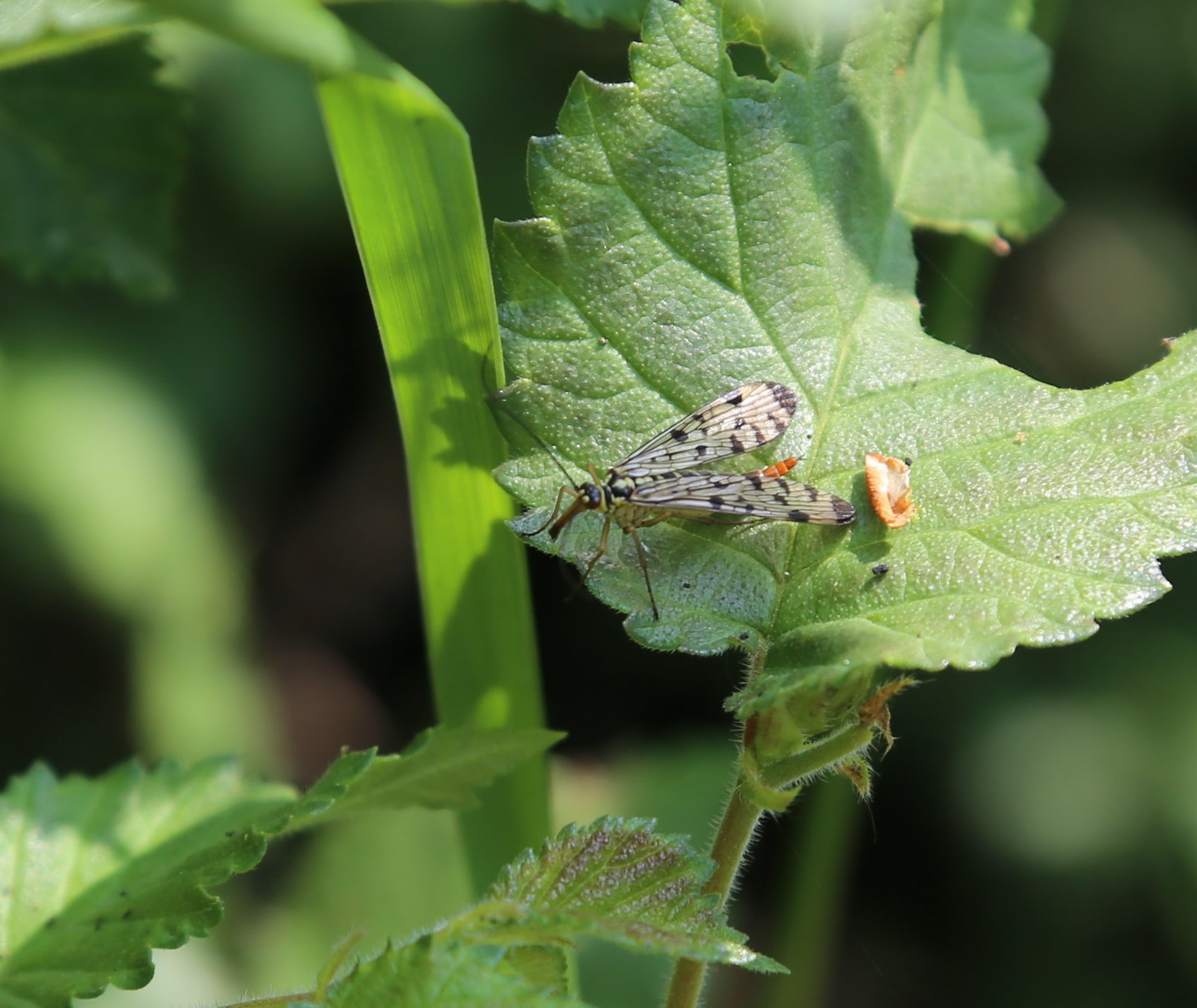 Scorpion Fly   Otford to Eynsford Walk