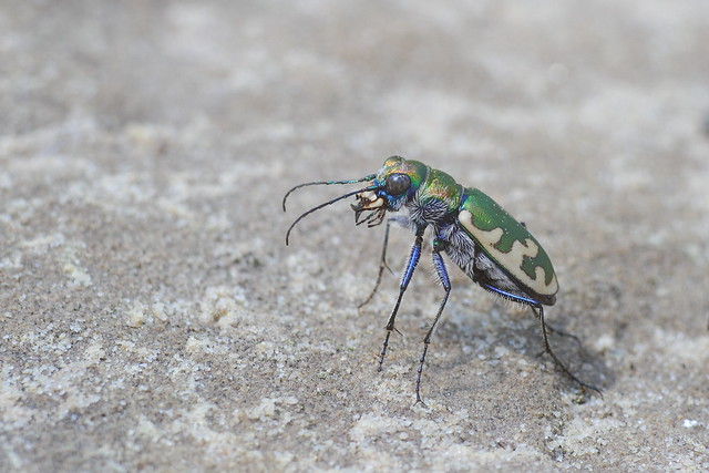 Big Sand Tiger Beetle, Canon EOS 7D, Canon EF 200mm f/2.8L II