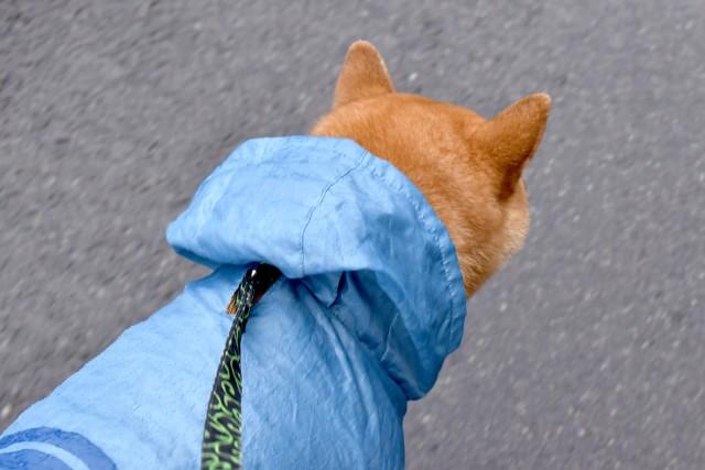 雨の日にレインコートを着て散歩する犬