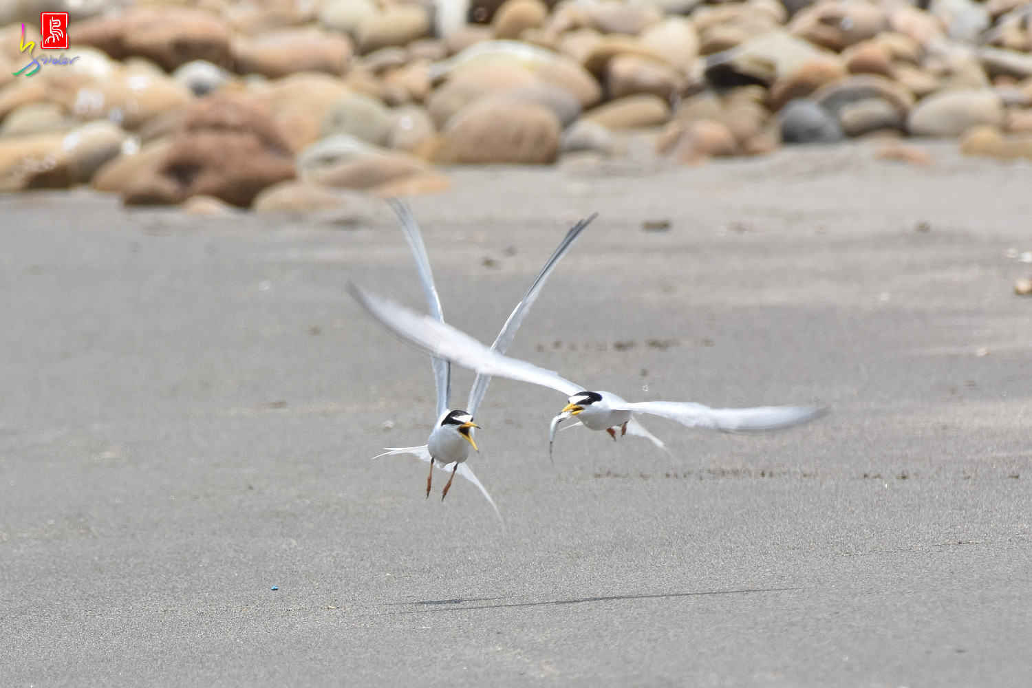 Little_Tern_8613