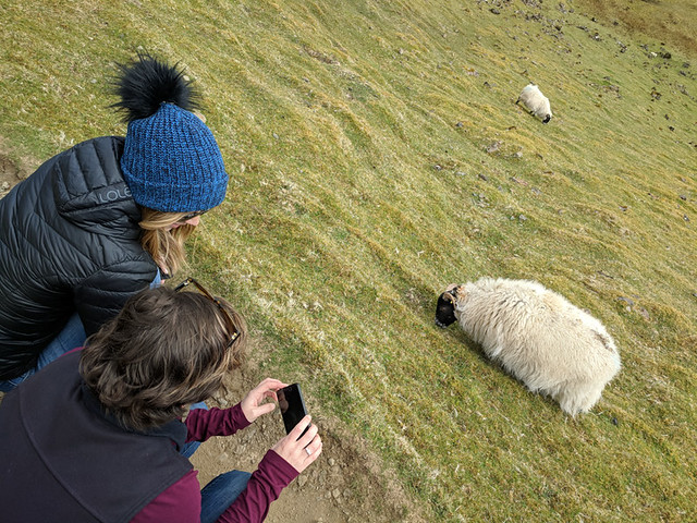 taking photos of sheep!