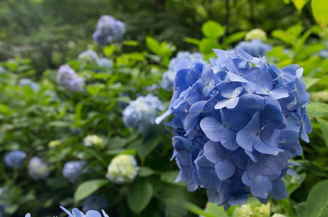 Photo:明月院の紫陽花