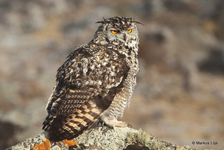 Cape Eagle-Owl