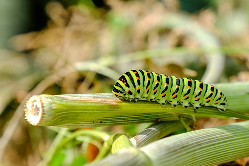 dovetail caterpillar