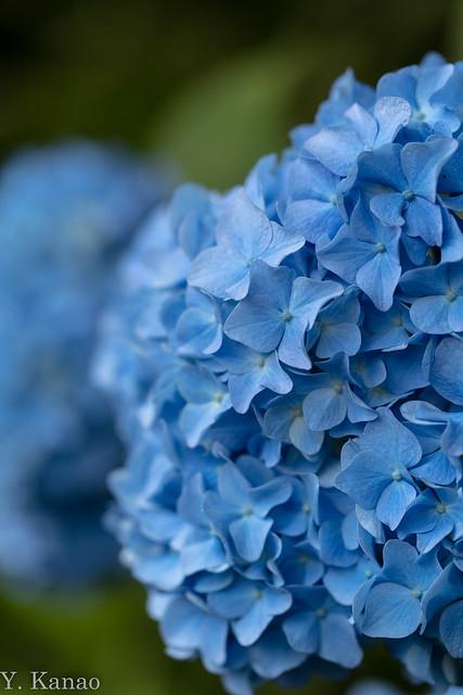 Blue hydrangea, Canon EOS 5DS, Canon EF 100mm f/2.8L Macro IS USM