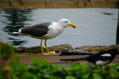 Gull eating dead carp, West Park