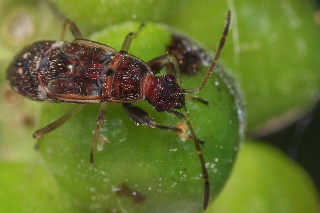Hemiptera gen. sp. 2018.05.20_01