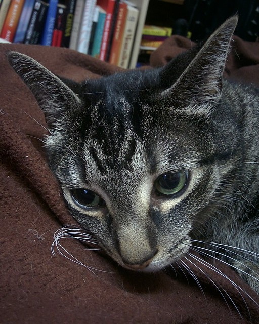 Shakespeare, reclining #toronto #dovercourtvillage #catsofinstagram #caturday #catstagram