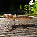 Dragonfly Larva?