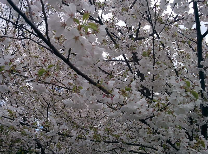 Sakura of Trinity Bellwoods (5) #toronto #trinitybellwoods #parks #cherryblossom #sakura #latergram