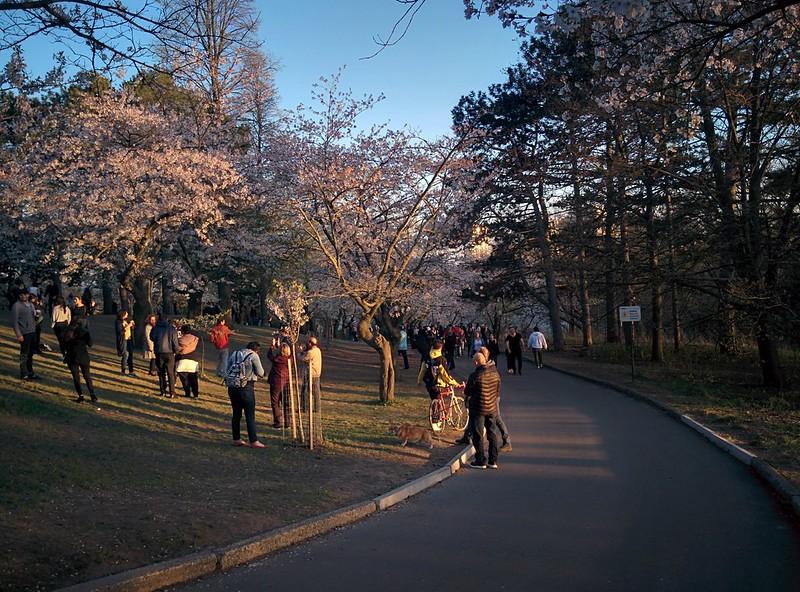 Sakura from the north (6) #toronto #highpark #sakura #cherryblossom #latergram