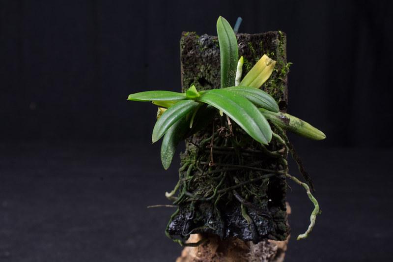 Orchideen-Neuzugang 2 - Seite 3 41831683744_41dd95067a_c