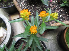 Butterfly Milkweed, 6/3/18