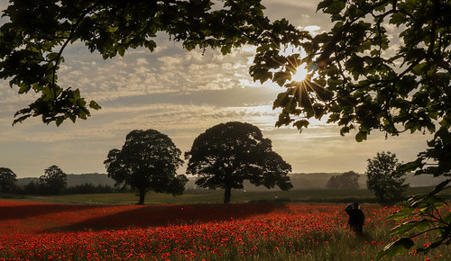 summer field poppy poppies red bloom flowers sunset countryside nature farm crop oak tre