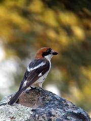 Woodchat Shrike, St Eulalia, Aracena