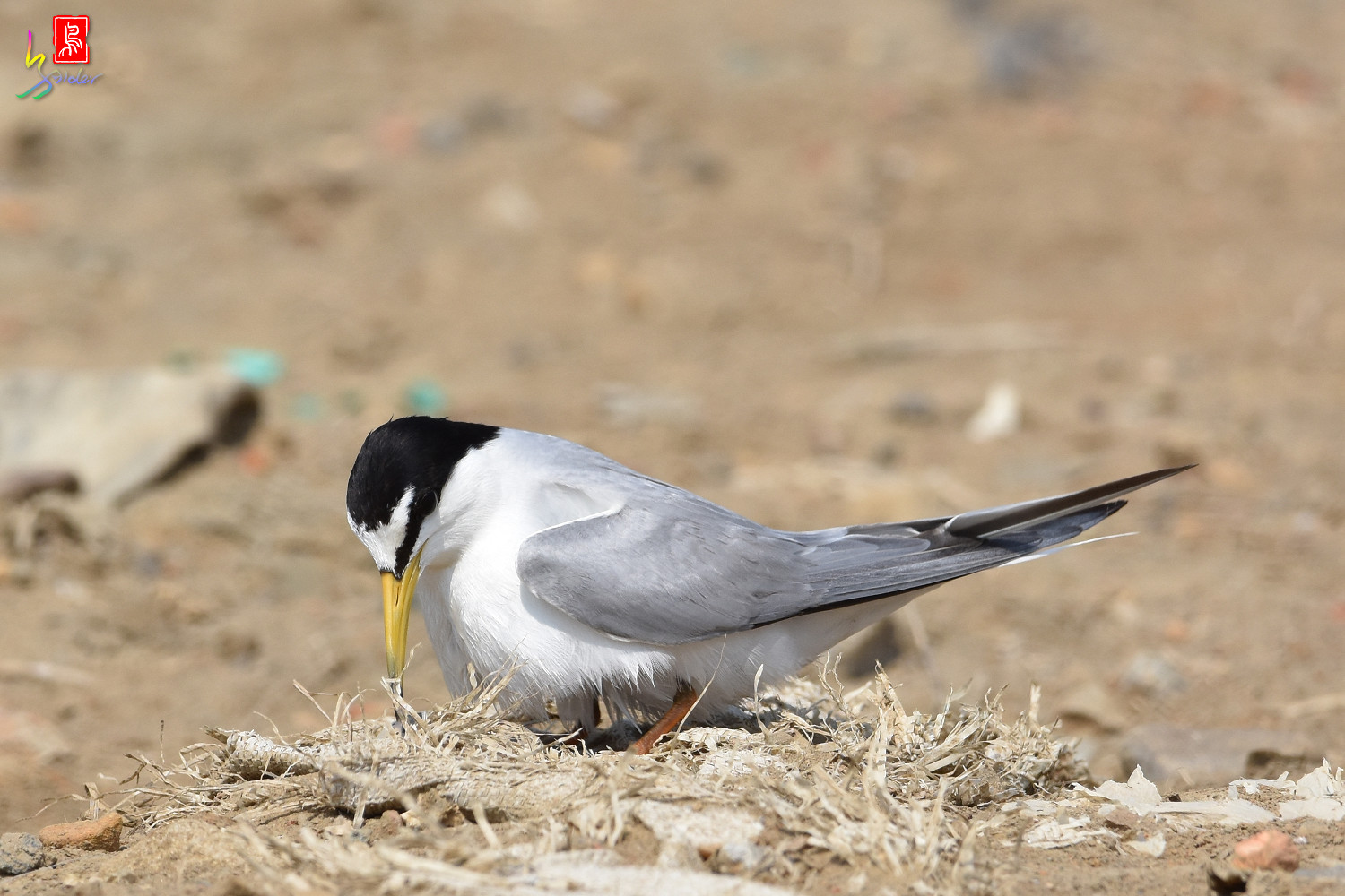 Little_Tern_0089