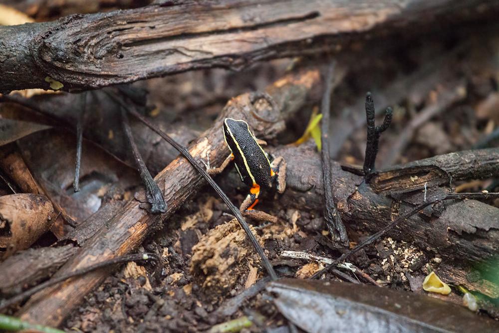 Spot-legged poison frog (Ameerega picta)
