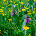 Marsh Orchid and buttercups