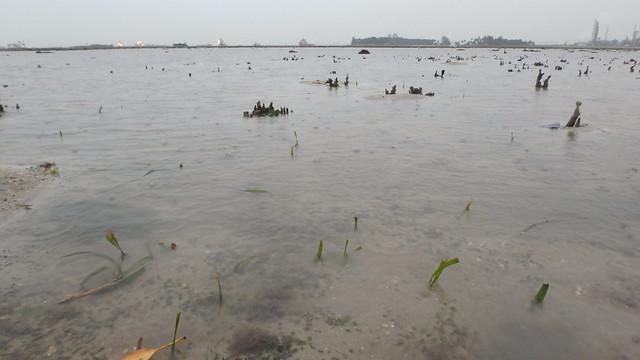 Cropped Tape seagrass (Enhalus acoroides)