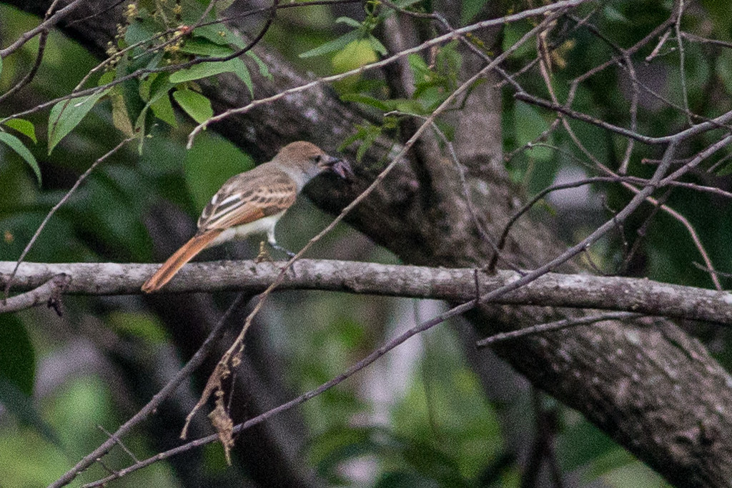 unknown. maybe flycatcher.