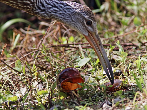 Limpkin with applesnail 20180603